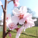 Almond Blossom 2