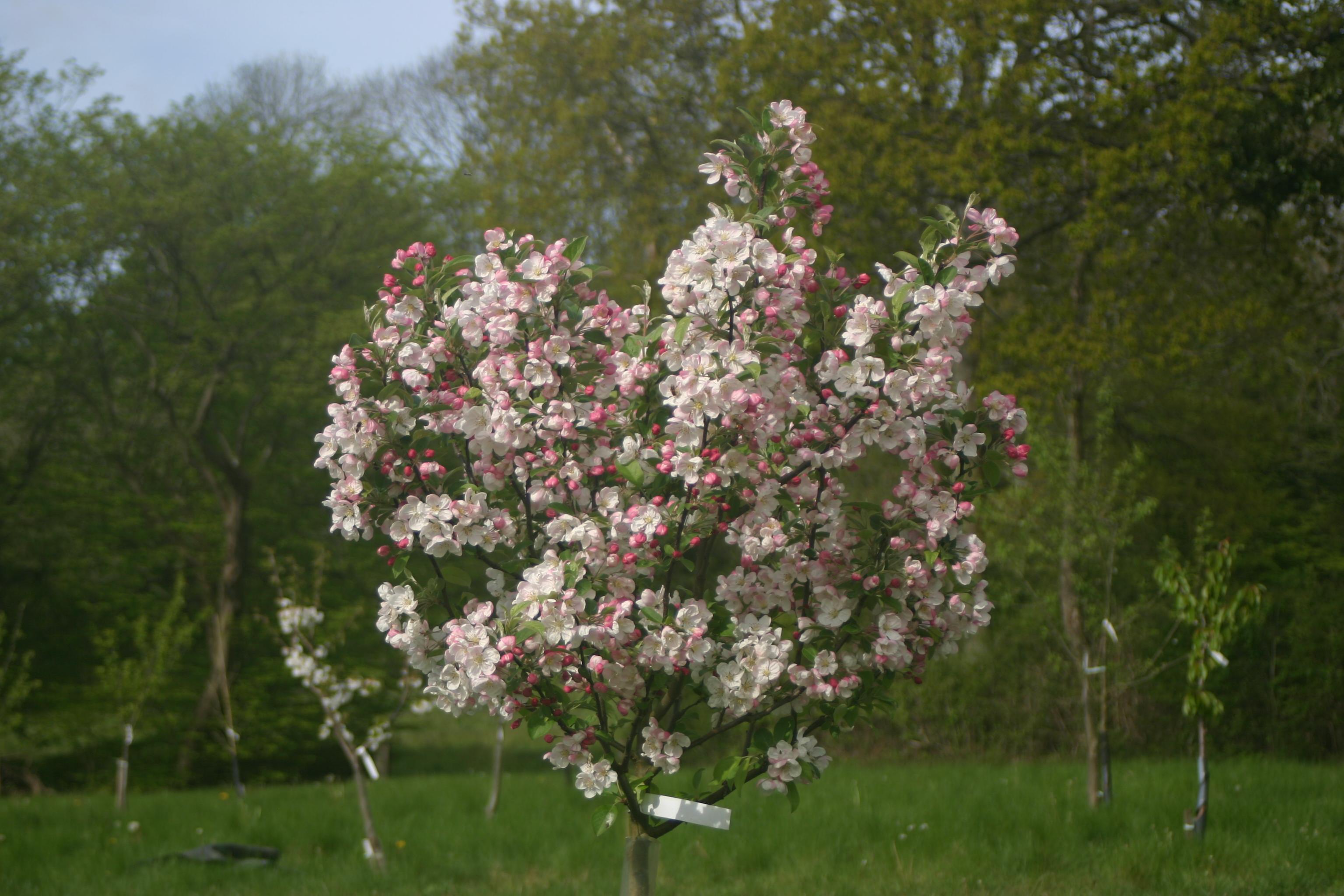 Sussex fruit trees brighton hawkhurst eastbourne for Garden trees kent