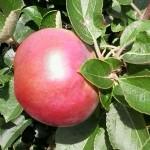 Spartan Apple