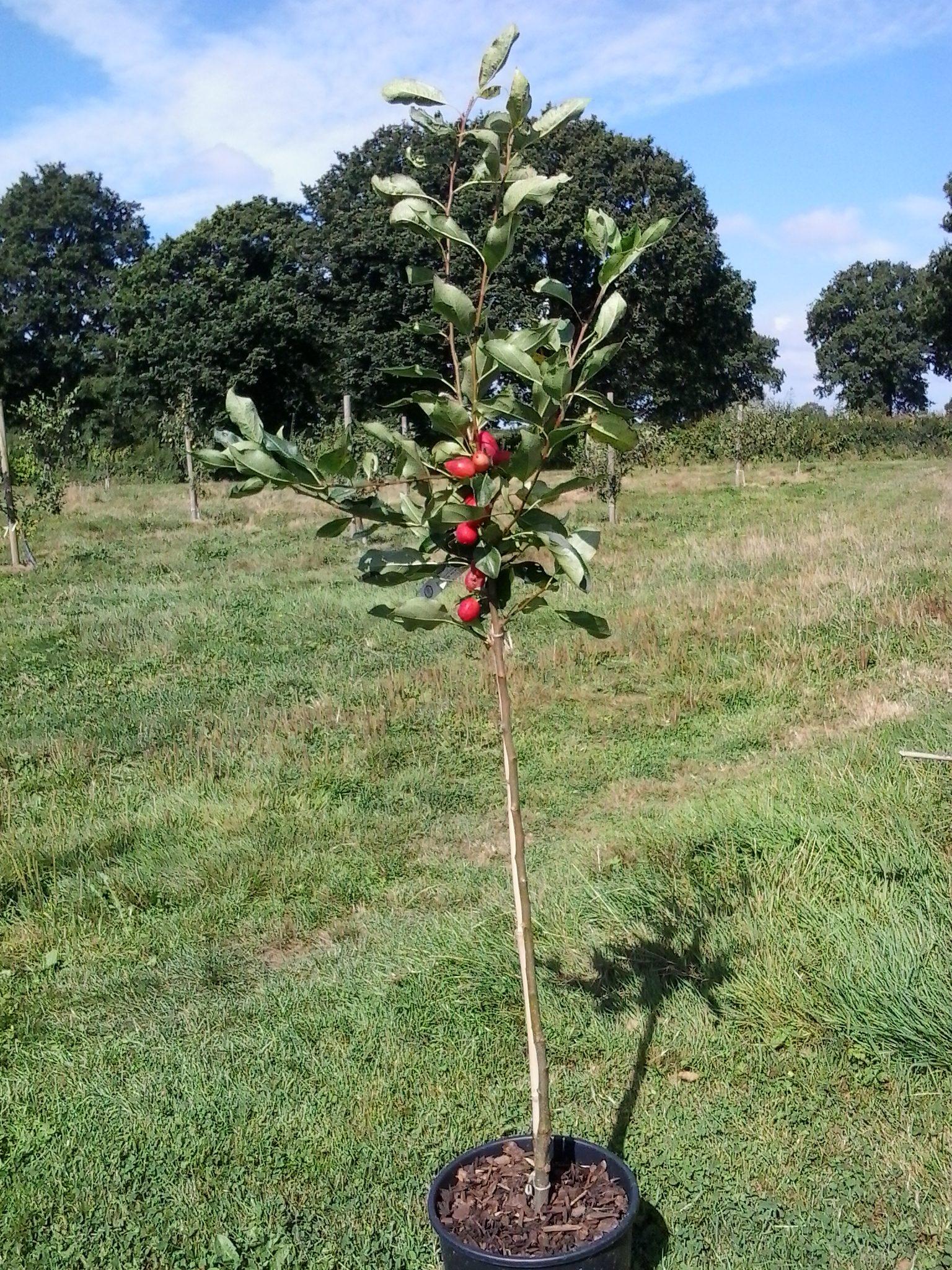 Ornamental Trees Sussex Fruit Trees